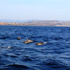 Dana Point's local dolphins riding the wake just off the coast.