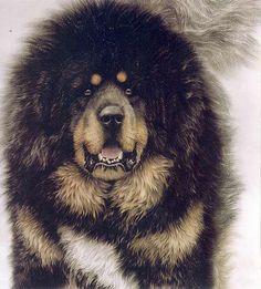Dog φυλών   Εκπαίδευση Σκύλων Κέντρο Βόλγα Bure Basar
