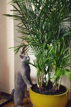 Life-Changing Plants That Filter Your Air – Safe For Cats Too! Bamboo Palms are a cat-friendly beautiful way to decorate your home!