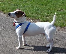 Google Image Result for http://upload.wikimedia.org/wikipedia/commons/thumb/7/77/Jack_Russell_Terrier_in_Park.jpg/220px-Jack_Russell_Terrier_in_Park.jpg