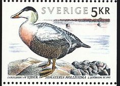 Common Eider stamps - mainly images - gallery format