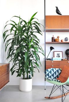 Dracaena Lisa cane, you see these plants a lot in homes and offices. They may be common but they are also hardy and can live in lower light and don't need to be watered very often.