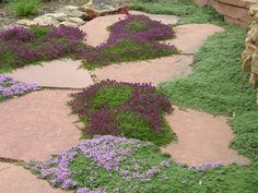 Thyme Groundcover planted in between colorado red flagstone pathway - Modern