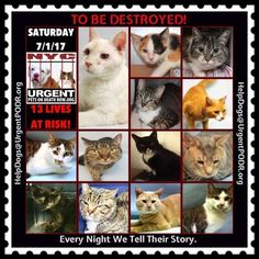 "TO BE DESTROYED 7/01/17 - - Info  Please share View tonight's list here: http://nyccats.urgentpodr.org/tbd-cats-page/. The shelter closes at 8pm. Go to the ACC website( http:/www.nycacc.org/PublicAtRisk.htm) ASAP to adopt a PUBLIC LIST cat (noted with a ""P"" on their profile) and/or … CLICK HERE FOR ADDITIONAL…Please…Please...-  Click for info & Current Status: http://nyccats.urgentpodr.org/to-be-destroyed-32017/"