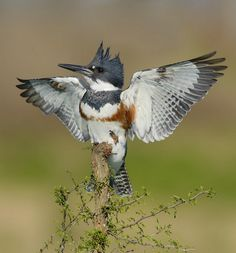 The Belted Kingfisher can be found in the Bay Area near water areas. It has a loud call that sounds like a rattle.