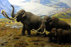 Why Did the Woolly Mammoth Die Out National Geographic