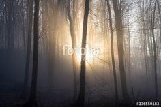 """Pobierz zdjęcie royalty free  """"Sunlight enters misty deciduous forest before sunset. Mysterious woods."""" autorstwa 1tomm w najniższej cenie na Fotolia.com. Przeglądaj naszą bazę tanich obrazów online i odnajdź doskonałe zdjęcie stockowe do Twoich projektów reklamowych!"""