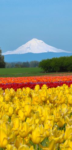 Each spring the Wooden Shoe Tulip Festival in Oregon's Mt. Hood Territory delights tens of thousands of visitors. 40 acres of flowers, food vendors, craft markets and fun activities make it the perfect, family-friendly event. Learn more by clicking the pin.