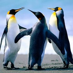 Adorable Photos of Penguins - AmO Images - AmO Images Mundo Animal, Stuffed Animals, Places To Visit, Cute Animals, Cool Stuff, World, Stickers, Emperor Penguins, Check