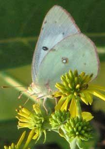 Female Orange Sulphur Butterfly