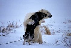 A big bear hug is all these this polar bear and husky needed to become instant best friends in northern Canada.