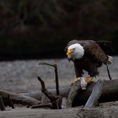 Bald eagle eating salmon  Photo by artbarnfilm