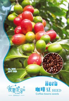Original Pack 10 Seeds / Pack, Coffee beans seed, imported organic Coffee Cherry balcony pot