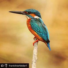 Photo Credit: @frankthierfelder1  Common Kingfisher #birds #birdphotography #kingfisher #commonkingfisher #wildlifephotography #sundarbans #aves #vogelfotografie #eisvogel #martinpescador #birdpics