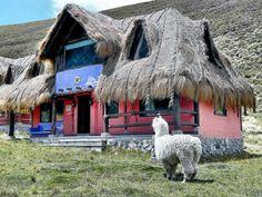 Alpaca in front of a hut at Chimborazo Volcano, Ecuador