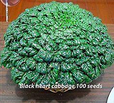 Solution Seeds Farm Hierloom Black Heart Cabbage Seeds,100 Seeds