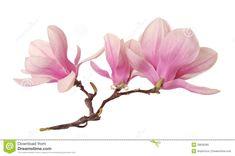 branch-magnolia-flower-isolated-white-39636285.jpg (1300×863)