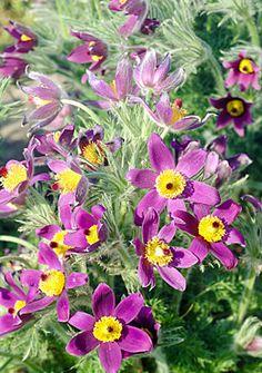 American Pasque Flower State Flower For South Dakota My Virtual Flower Garden Pinterest