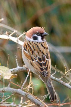 Moineau friquet Tree Sparrow