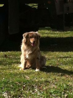 Bonnie, missing since 3/13/14 from her home in Willis TX. Minnie Aussie, red merle, docked tail. Comes to her name, very friendly. Close to Shepherd Hill rd. and Calvary Please contact Christy Hewitt (936) 446-0254 with any info.