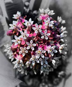 Title  Milkweed Bloom   Artist  Henry Kowalski   Medium  Photograph -