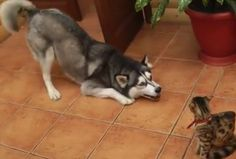 Dogs Annoying Cats With Their Friendship - hilarious video!