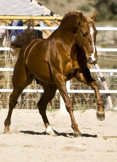 """bitchesinbreeches: Lusitanian stallion """"Ximfrim"""""""