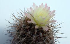Eriosyce chilensis ssp. albidiflora