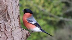 bullfinch singing and eating