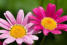 daisies pictures   Canada Floral Delivery Blog: Fun Facts About Daisies