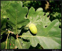 dub letní-Quercus robur čeleď-bukovité