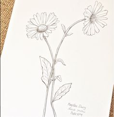 ©Hackney & Co Day 4 #ink #magellendaisy #the100dayproject #100daysofillustration, #hackneyandco100days #artistsofinstagram #hackneyandco #botanicalprints #orkneywildflowers #handillustrated