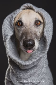 Mutts in mufflers - Scout being cheeky in grey woo - Media requests, prints, bookings: info@elkevogelsang.com