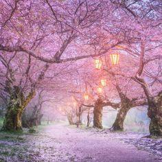 Sakura petals flying in the air by Daniel Kordan #Japan