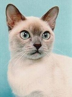 ^ Tonkinese ~ Grand Champion, National Winner~Torador's Antigone of Seaflower~CFA's 14th Best Cat 1996-1997