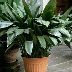 Garden Spaces, Garden Plants, Indoor Plants, Potted Plants, Balcony Gardening, Balcony Plants, Indoor Gardening, Gardening Tips, Bonsai