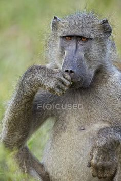 Kruger National Park, National Parks, Baboon, Novelty Gifts, Ethiopia, Animal Drawings, Custom Framing, South Africa, Pop Culture