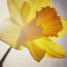 Daffodil Dreams  a single bright yellow daffodil  by matthewbull, $25.00