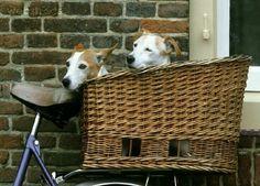 dogs in a bike basket