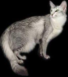 www designerbaghub com replica designer handbags sale Exotic Cat Breeds, Best Cat Breeds, Turkish Angora Cat, Angora Cats, Purebred Cats, Herding Cats, Pretty Cats, Beautiful Cats, Animals And Pets