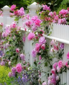 ✿pink roses on a white fence
