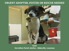 URGENT! WILL DIE 7/21/14  Coco is a female Mix and is 9 months old and weighs 13 lbs. *Please note this animal is not with AAVA - we are networking for rescue as the liason for the shelter* This baby is in a kill shelter in Abbeville, LA which does not allow public adoptions. Animals must be pulled by an approved rescue or can be adopted through AAVA.   TO ADOPT - fill out an application at http://animalaidvermilionarea.com/adoptions.php