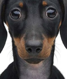 dachshund eyes.....how can you resist them?