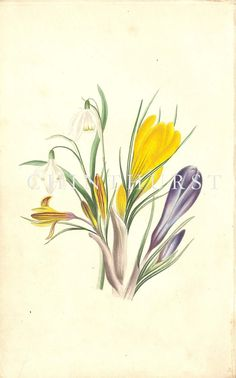 SNOWDROP AND CROCUS. Louisa Anne Twamley. Chromolithograph from 'The Romance of Nature'. 1836