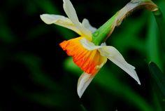 Daffodil, Jonquille, Narcissus (Flower)