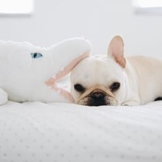 """""""I like to live dangerously"""",  Polly, the French Bulldog, @piggyandpolly on instagram."""
