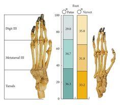 "Patas monkey foot skeleton - ""on left"" Vervet ""on right"""