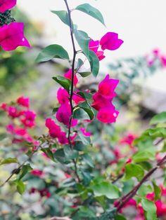Bougainvillea, Plants, Plant, Planets