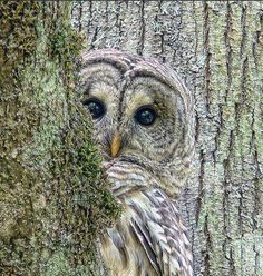 A shy Barred Owl bird peeks around a tree by photographer Jennie Marie Schell. Beautiful Owl, Animals Beautiful, Simply Beautiful, Absolutely Gorgeous, Pretty Birds, Love Birds, Pretty Baby, Animals And Pets, Cute Animals