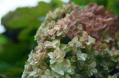 oakleaf hydrangea  - かしわばあじさい